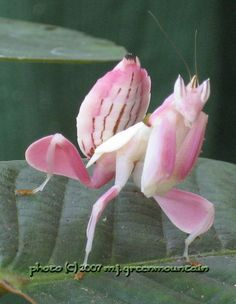 Pink cactus spider looks like a flower!