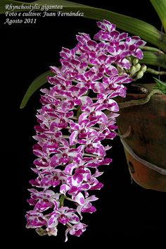 Rhynchostylis gigantea - Flickr - Photo Sharing!