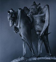 bats, photo by tim flach