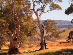 Or Hans Heysen in nature? Landscape Art, Landscape Paintings, Landscape Photography, Australian Painting, Australian Artists, South Australia, Australia Travel, Australia Landscape, Vintage Travel Posters