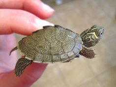 This looks just like a baby SAMMY! His shell was so clean when we first got him. Mississippi Map Turtle!