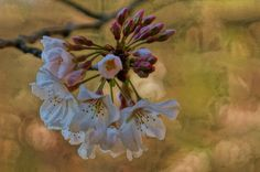 Cherry Blossoms - a paintography