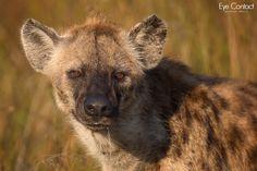 Hyena portrait by Mogens Trolle / 500px