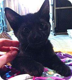 St. Louis, MO - Domestic Shorthair. Meet Hartford a Kitten for Adoption.