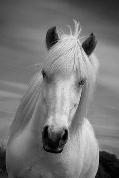 SALE - 50%off 12 x 8 prints  Horse photo, black and white ,horse home decor, white horse, animal photo, icelandic horse, 7.5 x 5 - 18 x 12