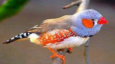 zebra finch - Paradise of birds