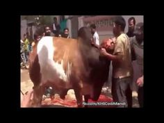 Extremely Dangerous Cow Qurbani at Eid al Adha - Cow Stands after Qurbani