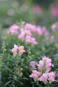 涼しげな、淡い色の夏の花。