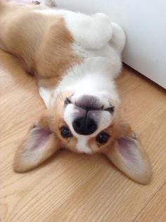 Otis the Corgi. I cannot handle all the puppy cuteness!!! #corgi #puppy #cute