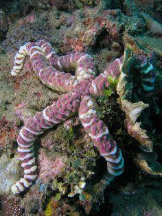 Starfish (Echinaster callosus)
