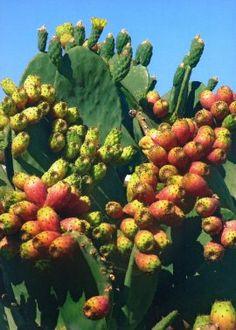 Fiche d'India, very typical in Sicily and the Mezzogiorno