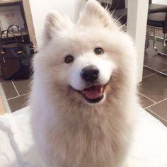 #smile #dogsofinstagram #dog #smiley #samoyed #sammy #whitedog #pet #love #doglovers #samoyedclub