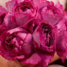 Fuchsia garden roses