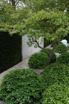 Chelsea Flower Show 2014 – love the hedge wall combination+carpinus betulus balls