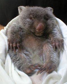 very small and round baby wombat (it hasn't grown into its claws yet. Baby Zoo Animals, Animals And Pets, Cute Animals, Baby Wombat, Baby Sloth, Mundo Animal, My Animal, Animal Pictures, Cute Pictures