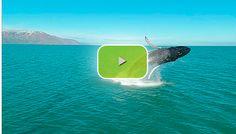 Humpback whale full breach, Iceland, N Atlantic
