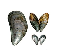 Mussel shells watercolor | david scheirer watercolors