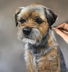 Pencil Portrait Just added the finishing touches to this little Border Terrier commission. He is one of my largest single portrait options at I… - Border Terrier, Crayons Pastel, Pastel Pencils, Colored Pencils, Animal Paintings, Animal Drawings, Pencil Drawings, Art Pastel, Pastel Drawing