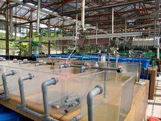 Soon Hock farming #fish #aquaculture #seafood #malaysia