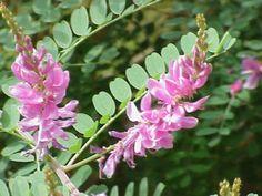 (v.01-01-16).Transplante de :L'indigotier, Indigofera tinctoria, est un arbuste pouvant atteindre 1.20 m, de la famille des Fabacées (Fabaceae). Il ne faut pas le confondre avec Indigofera gerardiana (syn. : Indigofera heterantha), appelé lui aussi indigotier, mais aussi faux indigo.