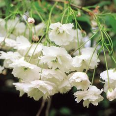 A guide on growing Wild Cherry Trees and why they make great tree gifts. Wild Cherry Trees Delivered by Award Winning Gift Company, UK. Cherry Blossom Tree, Blossom Trees, Cherry Tree, Blossoms, Colorful Flowers, White Flowers, Compost Soil, Root System, Nature Plants