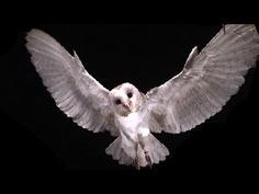 Slow Motion Barn Owl Attack - Slo Mo #11 - Earth Unplugged