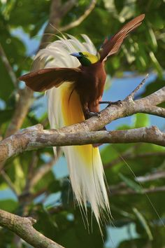I mean seriously? This is a real bird. Lesser Bird of Paradise