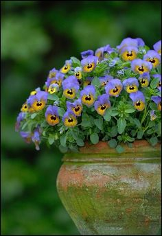 Pansies - love these sweet flowers - always my first welcome spring purchase - pretty yet tough enough to manage a few chilly nights!