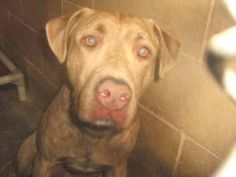 #MICHIGAN #URGENT ~ Dezi is a 1-2y/o Chesapeake Labrador Retriever mix dog #adoptable in #BattleCreek - He's a nice  brown  brindle retriever who came in with his kennel mate Lucy. He likes to talk with visitors; won't you come have a chat with him ? He's looking for a forever home where he can get care  love.  #Adopt  #Rescue at the CALHOUN COUNTY ANIMAL SHELTER 165 S. Union #BattleCreek MI 49014 ccas1101@sbcglobal.net Ph 269-963-6582