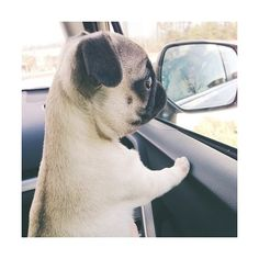 pug pup We Heart It ❤ liked on Polyvore featuring pictures, animals, icon pictures, icons, pics, backgrounds and filler