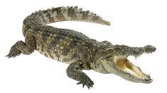 Crocodile isolated on white. Crocodile the wildlife dangerous hunter in the natu , Wild Animals Pictures, Animals Images, Animal Pictures, Cute Animals, Reptiles, Mammals, Crocodile Tattoo, Crocodile Animal, Saltwater Crocodile