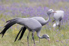 Anthropoides paradisea / Grulla del Paraíso / Blue Crane / Grue de paradis / Paradieskranich