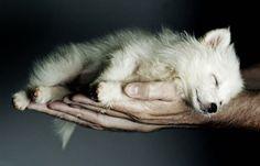 Awwwwww!!!!  Sleepy wolf puppy.