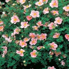 Potentilla fruticosa 'Pink Beauty'; A profusion of clear pink, rose like flowers from late spring to frost; Useful as an edging, in the rock garden, by the foundation, or in a shrub border; Withstands poor soils, drought, and wet conditions; Zones 2 to 7