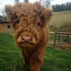 Cute Animal Pictures That Will Brighten Your Day Immediately - Lovely Animals World Cute Baby Cow, Baby Cows, Cute Cows, Baby Elephants, Elephant Baby, Fluffy Cows, Fluffy Animals, Animals And Pets, Wild Animals
