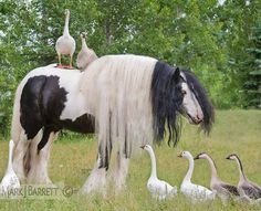 Красивые Лошади, Сельскохозяйственные Животные, Милые Животные, Лошадиная Грива, Цыганская Лошадь, Животные, Птицы, Фильм Прекрасные Создания, Лошади