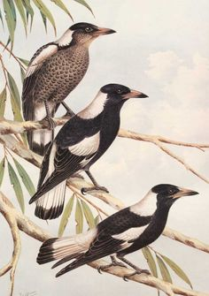Neville Cayley painting of Black Backed Magpie - Australia.
