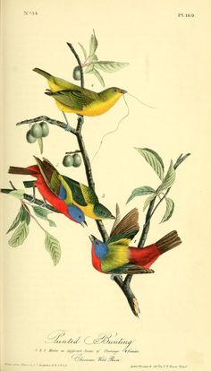 Painted Bunting. The birds of America : from drawings made in the United States and their territories v.3. New York :J.B. Chevalier,1840-1844. biodiversitylibrary. Biodiversitylibrary. Biodivlibrary. BHL. Biodiversity Heritage Library