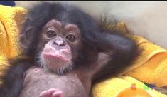 Cute Funny Animals, Cute Baby Animals, Animals And Pets, Funny Monkeys, Primates, Baby Chimpanzee, Monkey World, Cute Baby Monkey, Tier Fotos