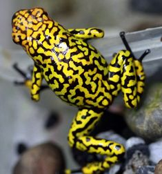 An endangered harlequin poison frog (Oophaga histrionica) clutches a plastic container inside its enclosure at the Santa Fe Zoo in Medellin, Colombia.