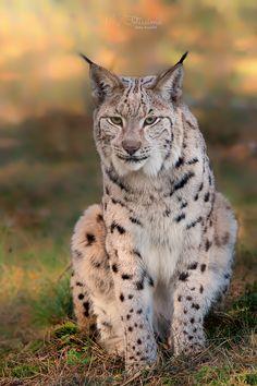 Lynx; Down Right Gorgeous!  (by Anke Kneifel).