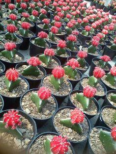 Mini Kaktus Red