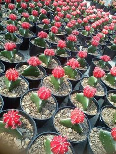 mini kaktus ungu ideas for the house pinterest minis. Black Bedroom Furniture Sets. Home Design Ideas