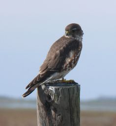 merlin bird of prey | Recent Photos The Commons Getty Collection Galleries World Map App ...