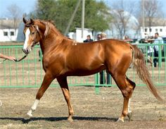 Россия Russian Don horse breed