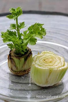 Come coltivare il sedano in vaso partendo...dal gambo How to grow celery in pots starting from the stem