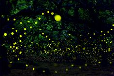 Amazing! - Long Exposure Photographs of Fireflies in the Forests of Nagoya City by Yume Cyan long exposure Japan fireflies