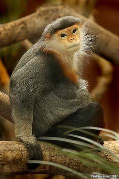 Red Shanked Douc Langur by AnimalExplorer