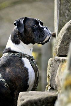 BOXER: So pretty! - Dunway Enterprises - Training (click here) http://dunway.us/kindle/html/boxer.html