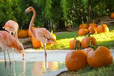 Flamingos and Pumpkins are the perfect symbol of Fall in Florida. SeaWorld Orlando offers seasonal enrichment for tropical flamingos with pumpkins!